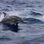 Dolphin_ken_conger1