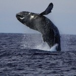 Whale_Breach_ken_conger3