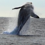 Whale_Breach_ken_conger4